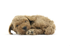 Sleepy. My sleepy little puppy dog Royalty Free Stock Images