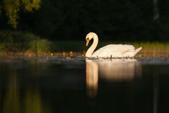 Sleepy. Mute swan on lake in summer Stock Image