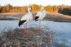 Sleepy. White stork family sleeping on nest Stock Photography