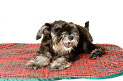 Sleepy. Cute dog on her mat in a studio stock photography