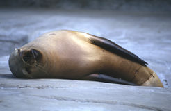 Sleepy. Sea lion Stock Photo