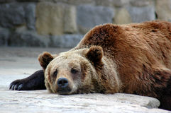 Sleepy. Grizzly bear Royalty Free Stock Photography