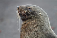 Sleepy Antarctic fur seal, Antarctica. Antarctic fur seal - the mammal with the world's longest whiskers - resting on a black volcanic beach, Deception Island Royalty Free Stock Photos