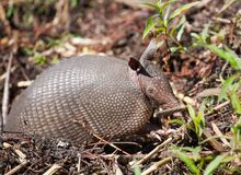 Sleepy armadillo Royalty Free Stock Photography