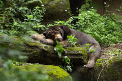 Sleepy Asian black bear lying Royalty Free Stock Photography