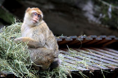 Sleepy Baboon Royalty Free Stock Photos