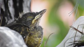 Sleepy baby bird with closed eyes. And waking for a moment. Rufous-bellied Thrush. Turdus Rufiventris; Sabia Laranjeira stock video footage