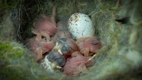 Sleepy baby chickadees hatching day. This is a footage of some sleepy baby chickadees on the hatch day stock footage