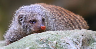Sleepy Banded Mongoose Stock Image