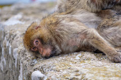 Sleepy Barbary Macaque. Royalty Free Stock Images