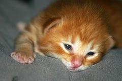 Sleepy. Barely awake tiny orange kitten, up close portrait stock images