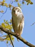 A sleepy Barn Owl. Stock Image
