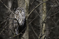 Sleepy Barred Owl, Strix varia, perched in a tree. A Sleepy Barred Owl, Strix varia, perched in a tree royalty free stock images