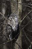 Sleepy Barred Owl, Strix varia, in a tree. A Sleepy Barred Owl, Strix varia, in a tree royalty free stock image