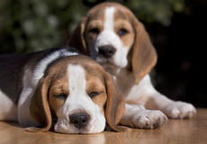 Sleepy beagle puppies Stock Image