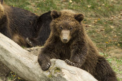 Sleepy bear Stock Image