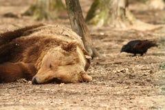 Sleepy bear and rook Stock Photography
