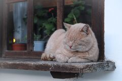 Sleepy Beige Cat on Windowsill Royalty Free Stock Photo