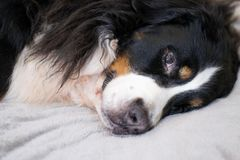 Sleepy Bernese Mountain dog is lying on beige plush plaid. time for sleeping. Comfortable and lovely home. Family time spending stock photo