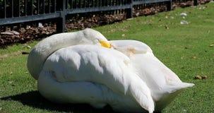 Sleepy Bewick Swan. Sleepy Bewick`s Swan Cygnus Columbianus, Close Up Portrait - DCi 4K Resolution stock footage