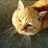 Sleepy big headed red cat royalty free stock images