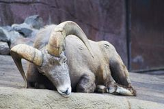 Sleepy bighorn ram. Sleepy big male rocky mountain bighorn sheep laying down stock photo
