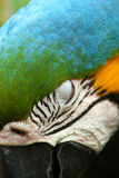 Sleepy Bird. Close up of a McCaw with eye closed Stock Images