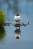 Sleepy black-headed gull Stock Photography