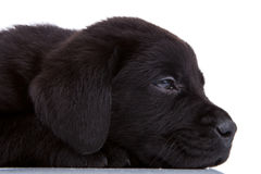 Sleepy black labrador Stock Image