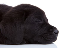 Sleepy black labrador Stock Images