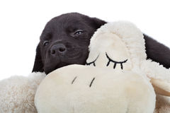 Sleepy black labrador puppy Royalty Free Stock Photos