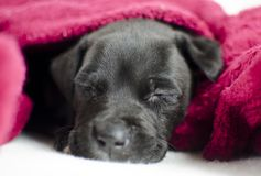 Sleepy black puppy dog with blue eyes under the bed covers, Georgia USA Stock Photography