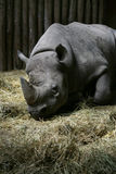 Sleepy Black Rhino Royalty Free Stock Photography