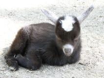 Sleepy Black and White Baby Goat Resting Stock Image