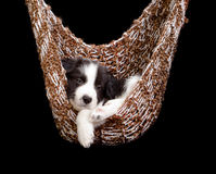 Sleepy border collie puppy Stock Photo