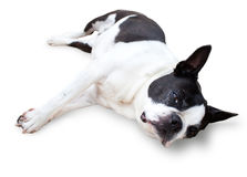 Sleepy Boston Terrier Dog Royalty Free Stock Photography