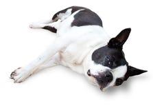 Sleepy Boston Terrier Dog Royalty Free Stock Photography