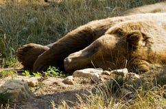 Sleepy brown bear stock photography