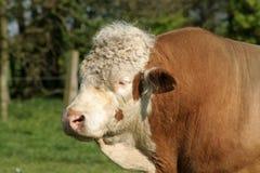Sleepy Bull. Hereford Bull doses in the sun Stock Photos
