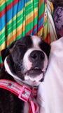 Sleepy Bulldog Royalty Free Stock Image