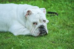 A sleepy bulldog is looking at you royalty free stock image