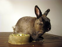 Sleepy bunny. With food and abstract grass background stock photography