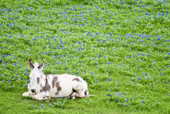 Sleepy Burro. A burro, with long white hair and brown markings, resting sleepily in a field full of bluebonnet flowers Royalty Free Stock Photo