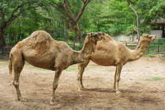 2 sleepy camels. There are 2 sleepy standing overlay each other in the zoo stock photo