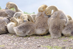 Sleepy Canada geese goslings , hertfordshire, england Stock Photo