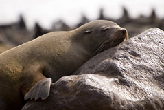 Sleepy cape fur seal. A sleeping cape fur seal in the Cape Cross Seal Reserve on the Skeleton Coast, Namibia. Cape Cross is the home to the largest breeding stock photo