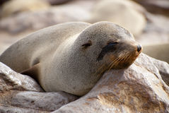 Sleepy Cape Fur Seal Royalty Free Stock Images