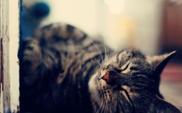 Sleepy Cat Royalty Free Stock Photos