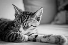 Sleepy cat. Sleepy young cat on sofa Royalty Free Stock Photos