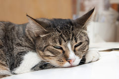 Sleepy cat. Young cat feeling sleepy on a pile of books Royalty Free Stock Photo
